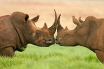 04_White_rhinos_in_Kruger_National_Park