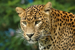 05_A_leopard_in_Kruger_National_Park (1)